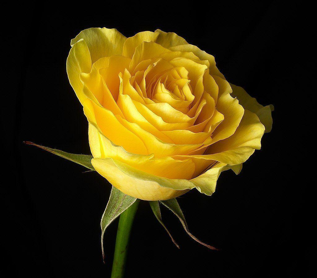 Hd wallpaper yellow rose - Beautiful Yellow Rose Wallpapers Beautiful By Free Hd Wallpapers