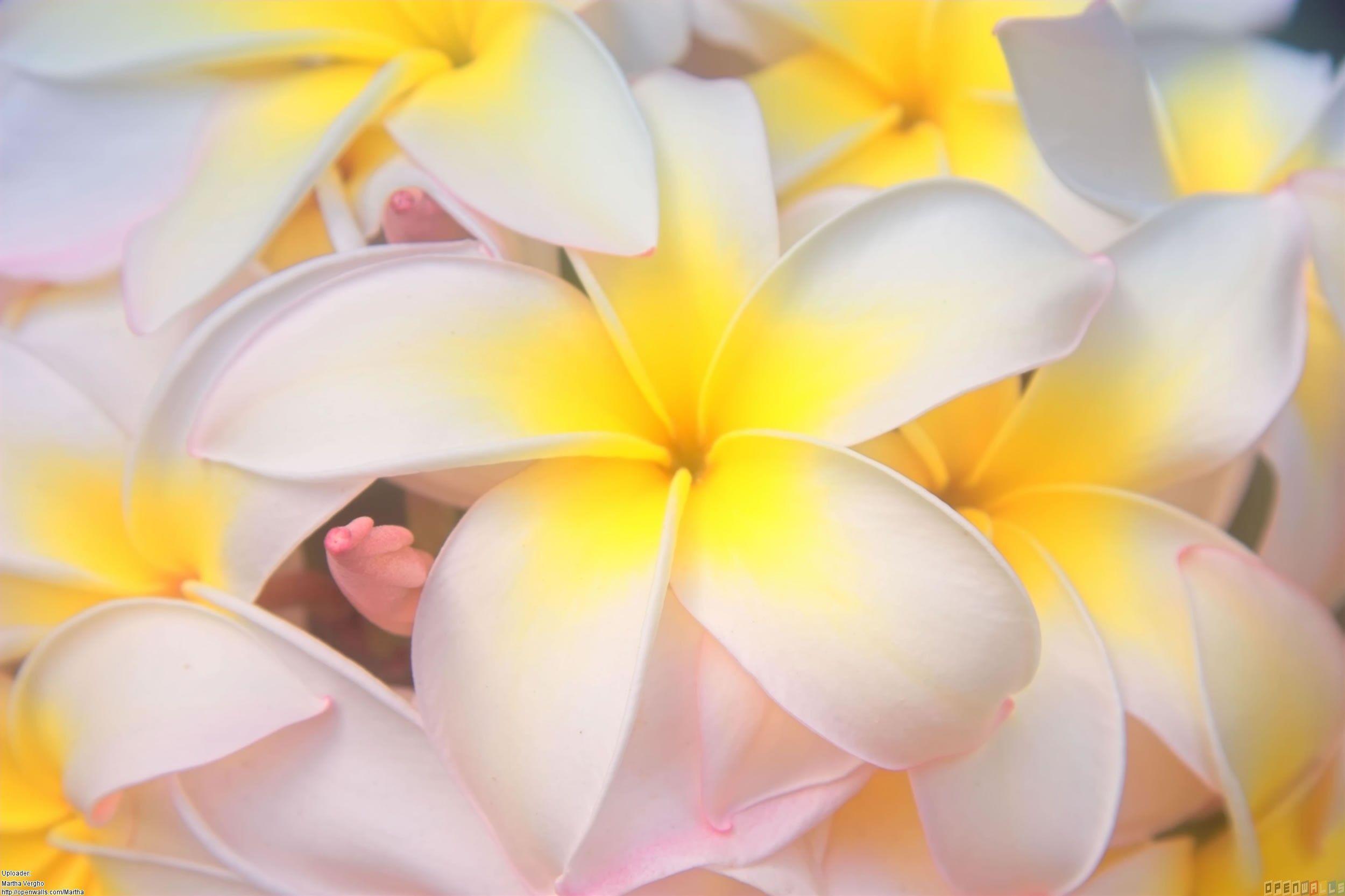 Hawaiian Flower Wallpapers  Wallpaper Cave