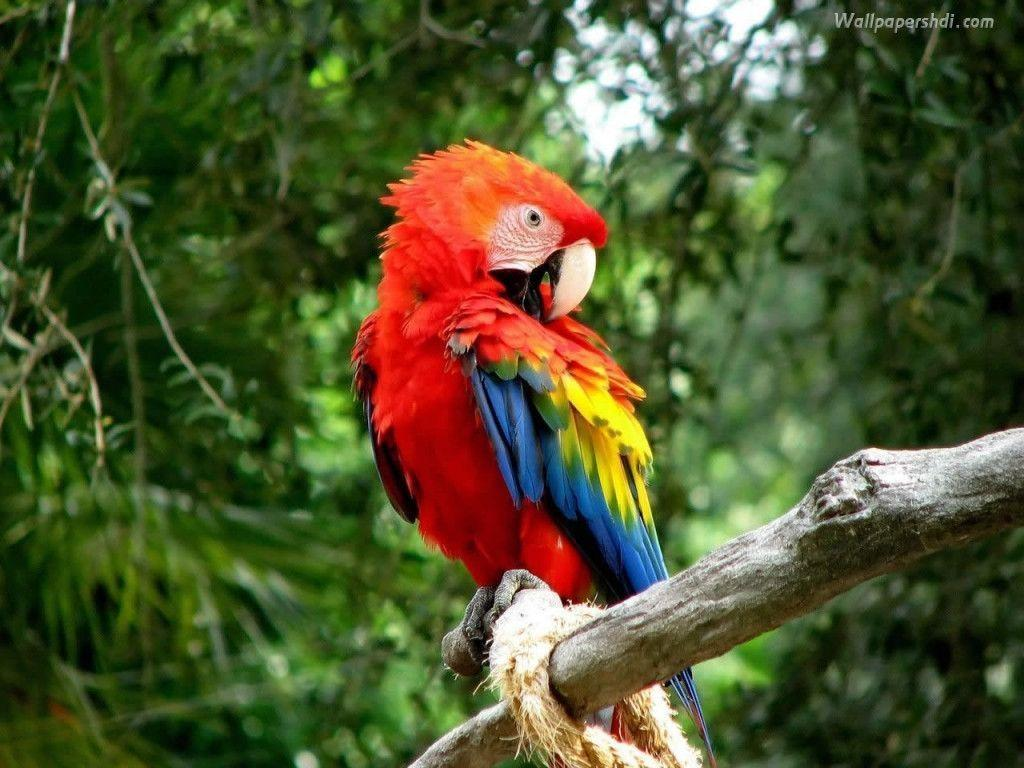Macaw Wallpapers