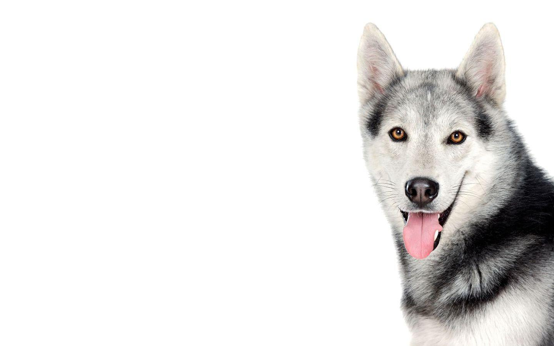 red husky puppy wallpaper - photo #40