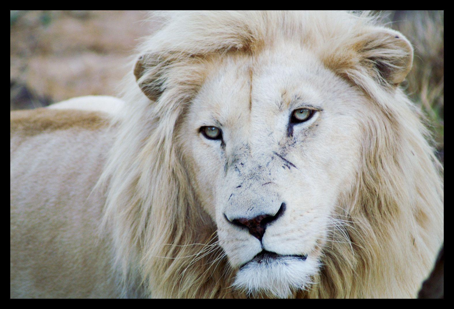 wallpapers of white lion wallpaper cave