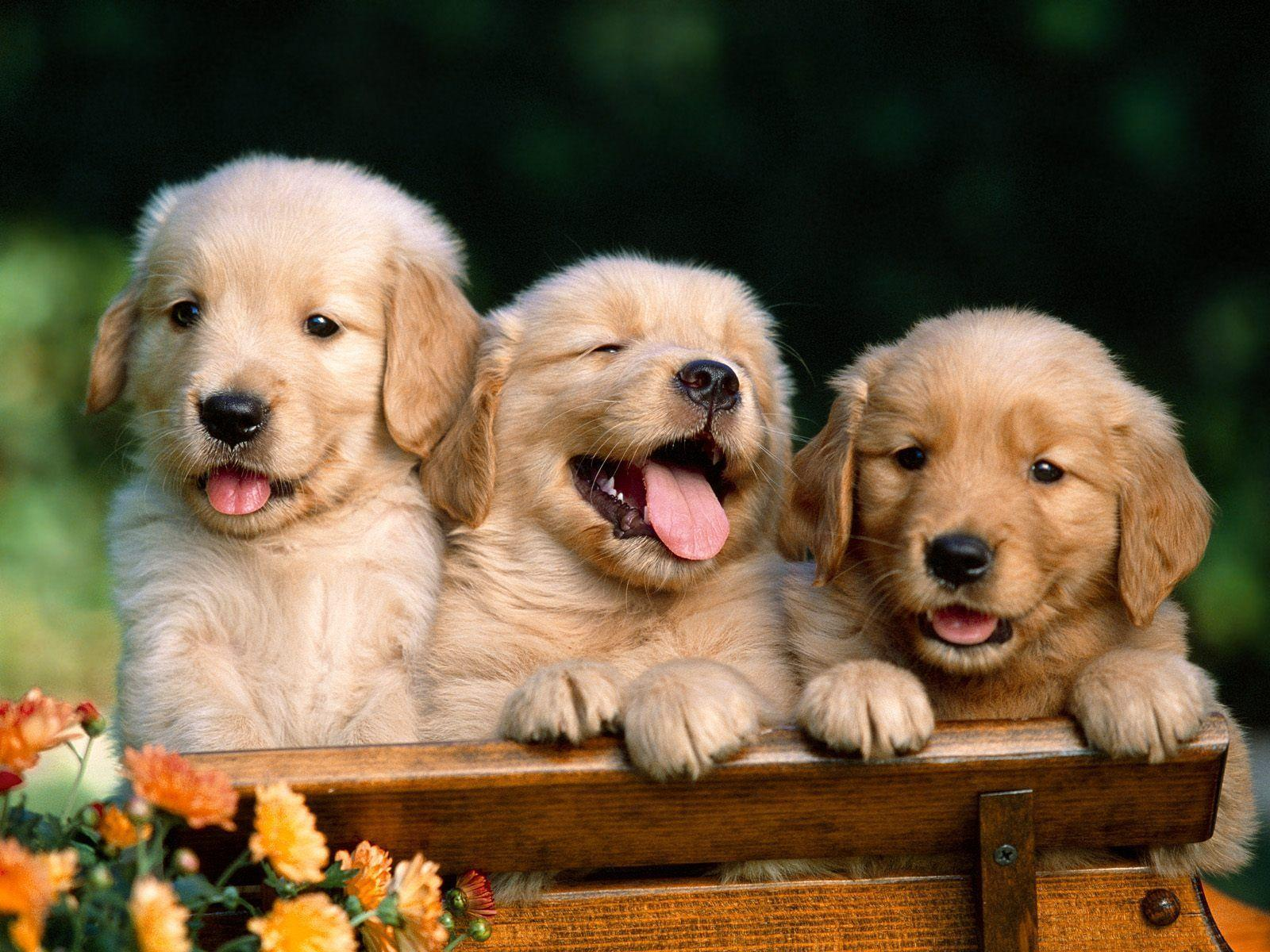 Golden Retriever Free Desktop 8 HD Wallpapers | www ...