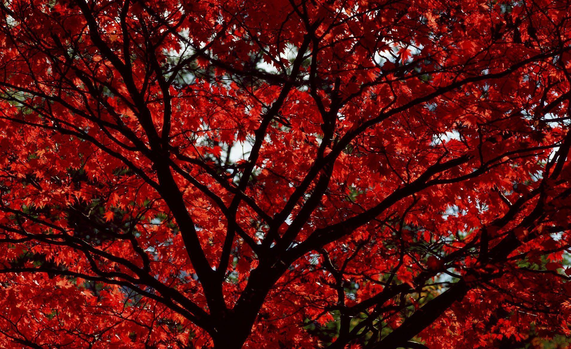 Labels Red Autumn Leaves Photography Hd Wallpapers For: Red Leaves Wallpapers