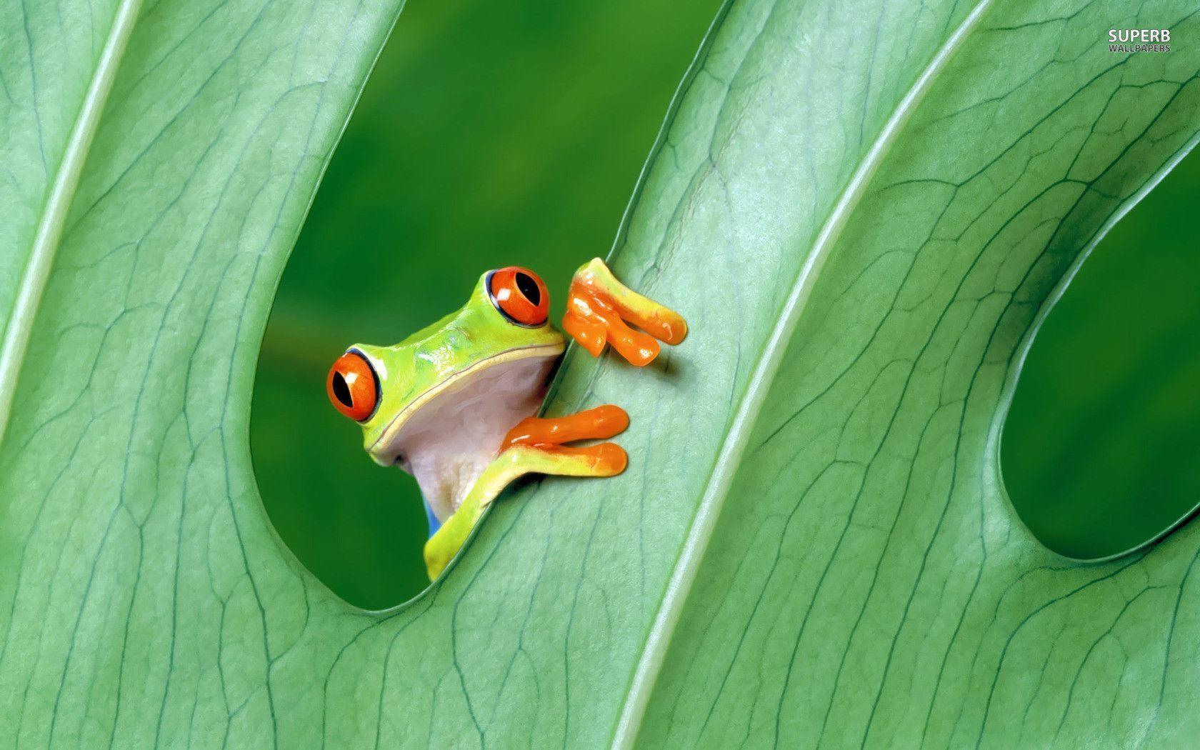 Tree Frog Wallpapers - Wallpaper Cave