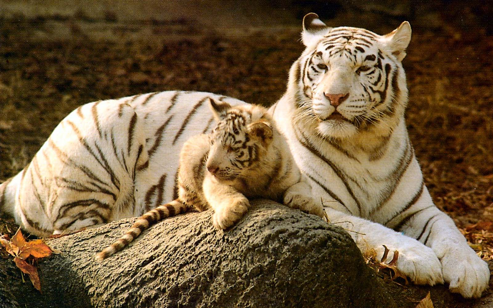 baby tiger wallpaper  Baby White Tiger Wallpapers - Wallpaper Cave