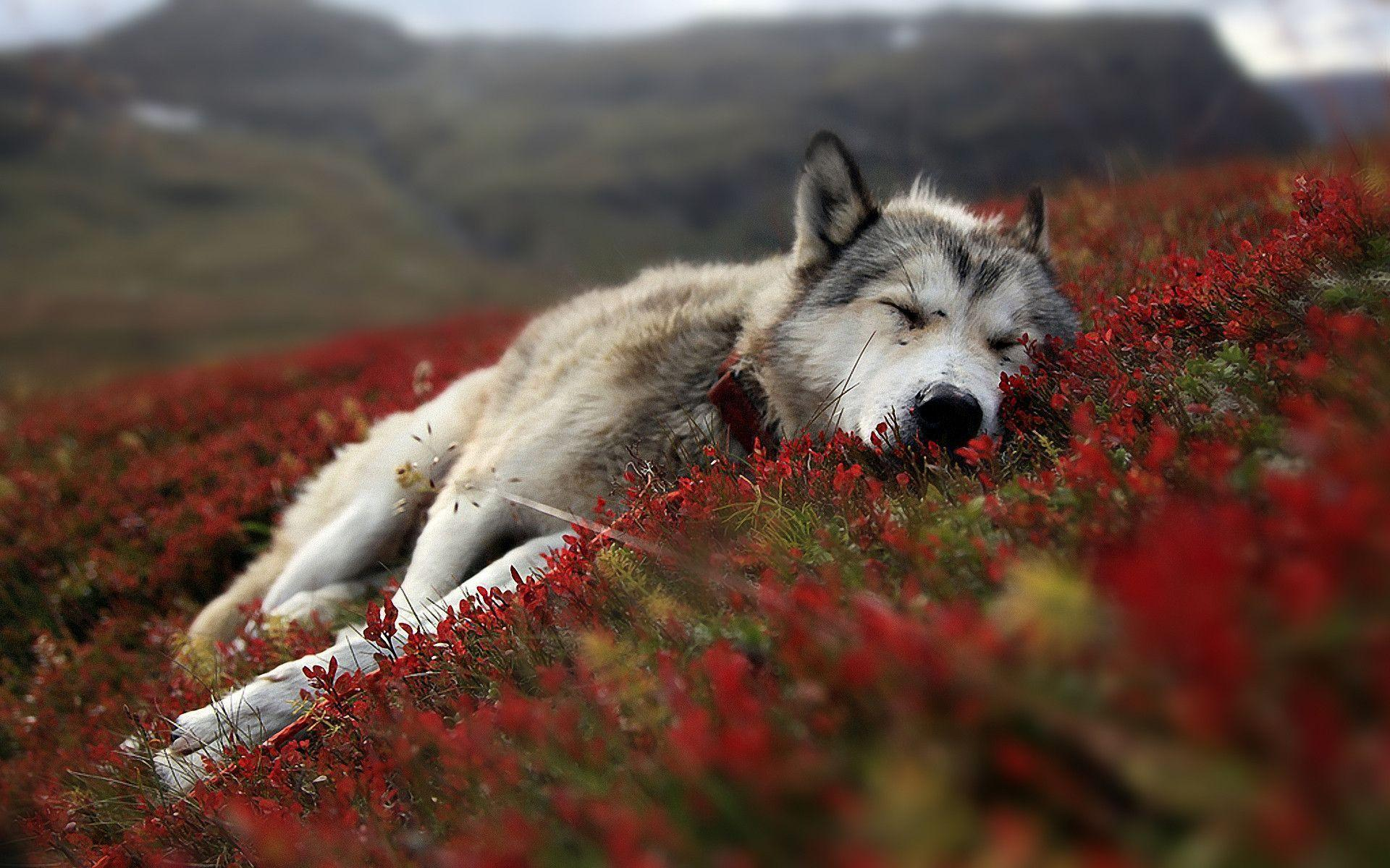 Download Exclusive Wolf Wolves Wallpapers