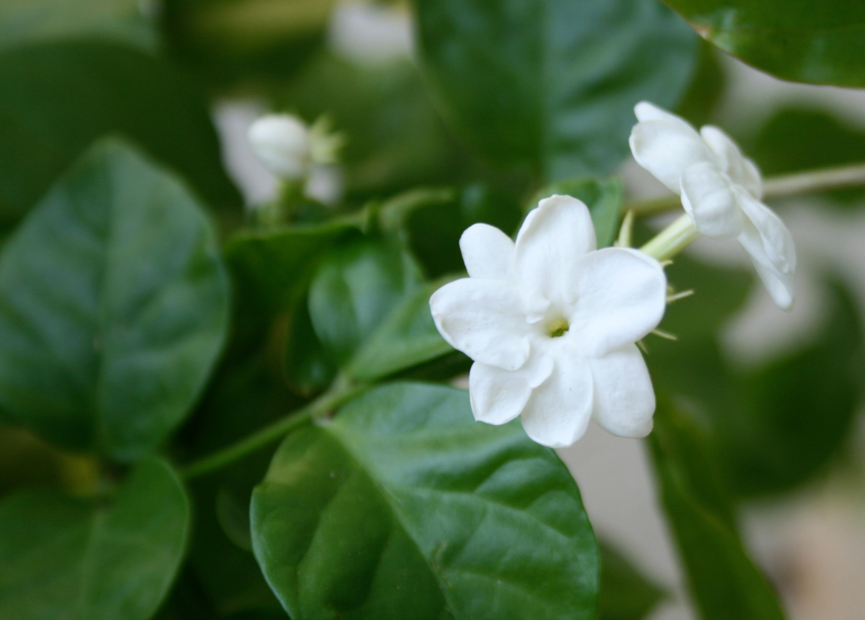 Jasmine Flower Wallpapers Pictures Wallpapers