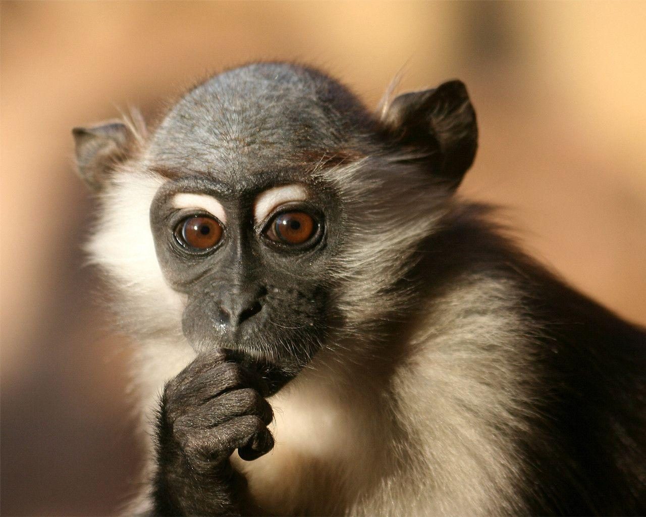Monkey Wallpapers Download 625 HD Pictures
