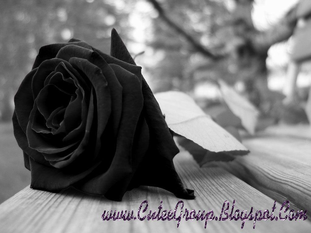 Single Black Rose Flower