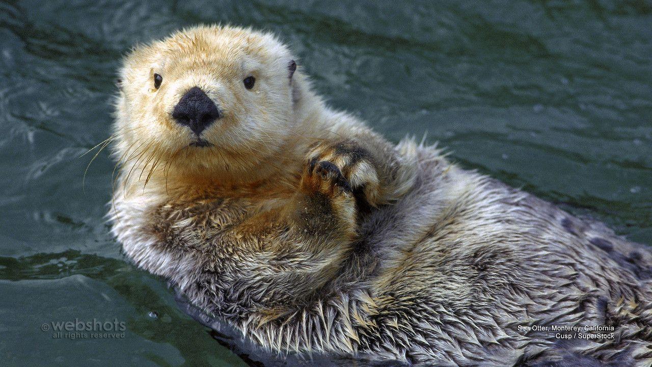 Sea Otter Desktop Wallpaper | Wallpaper Full HD