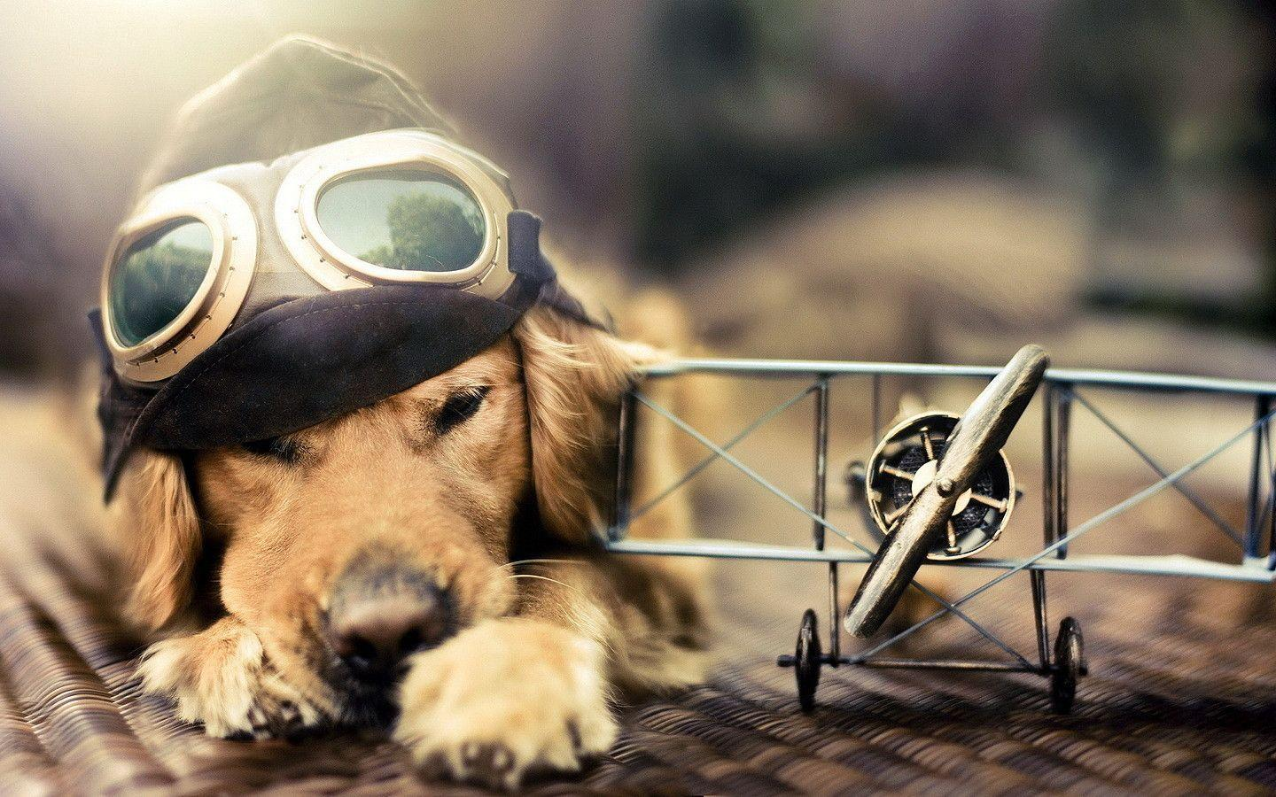 Golden Retriever Dog Wallpapers | Golden Retriever Pupy Wallpapers ...