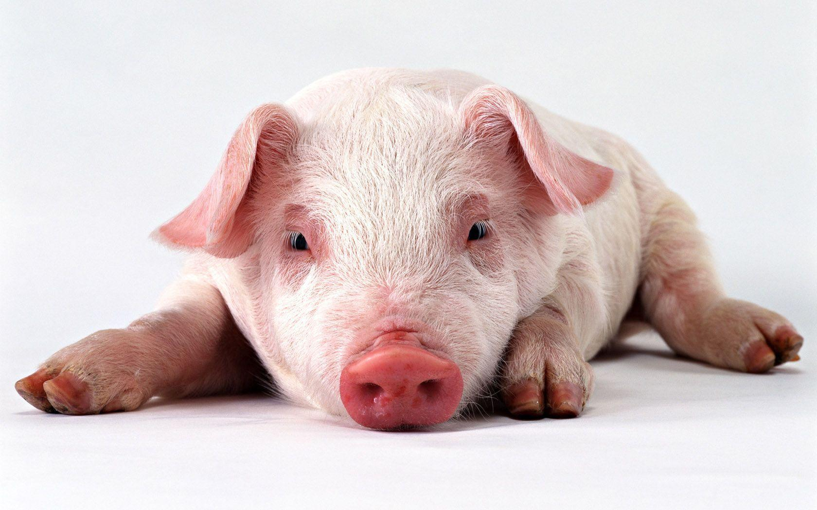 Wallpapers For > Funny Pig Wallpaper