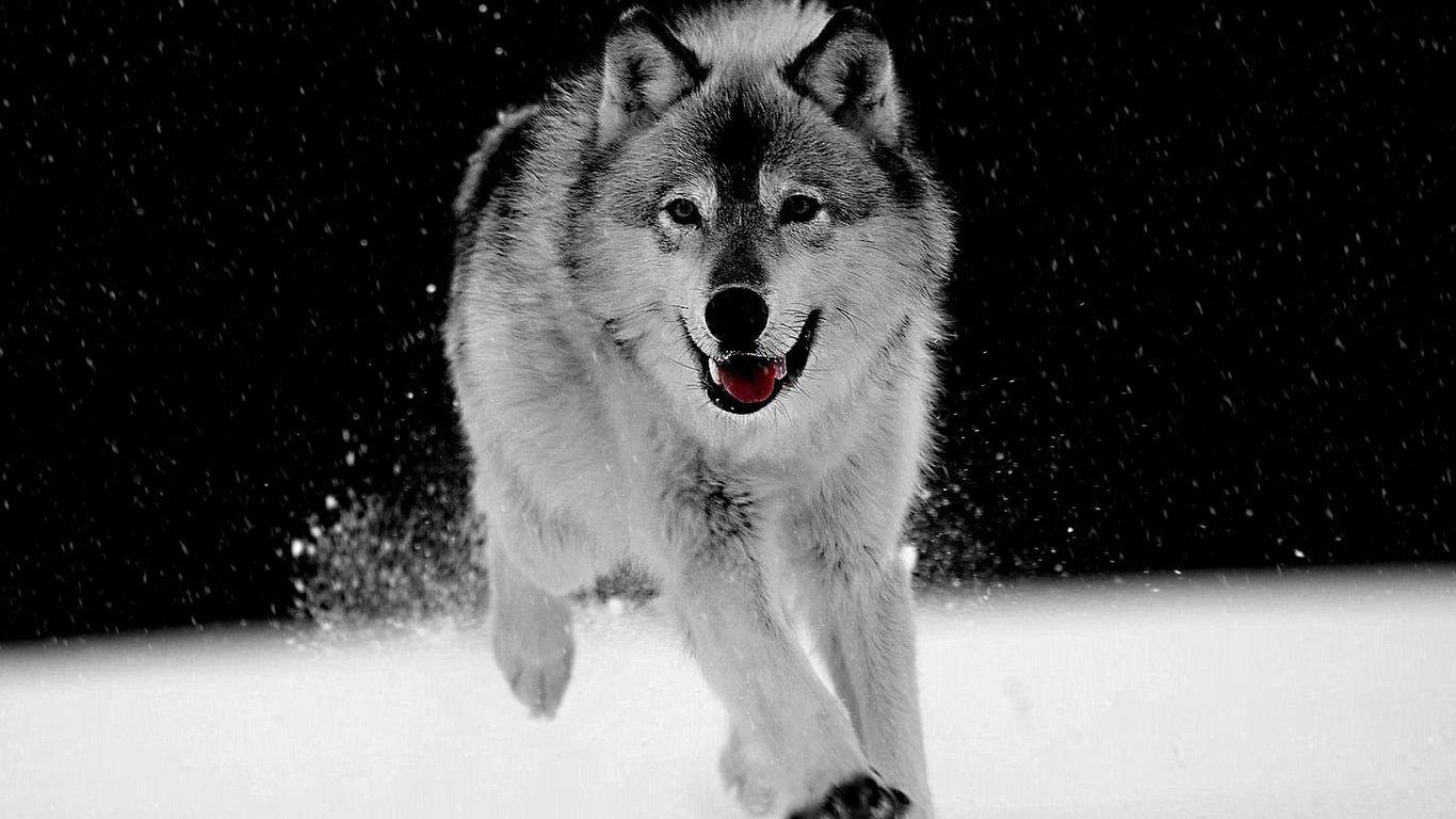 Wallpapers For > White Wolf In Snow Wallpapers