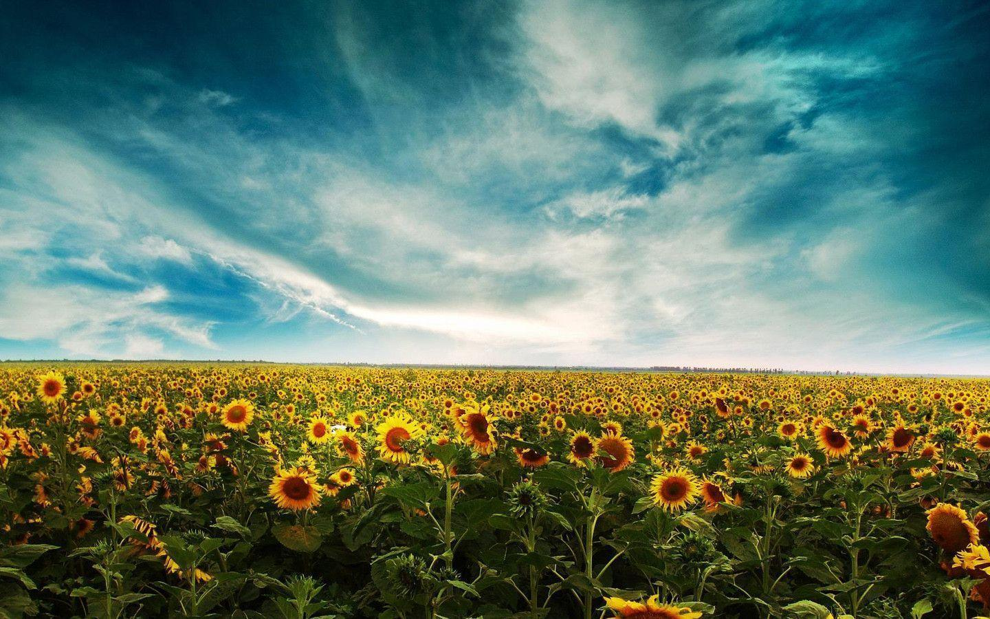 Wallpapers For Vintage Sunflower Background Tumblr