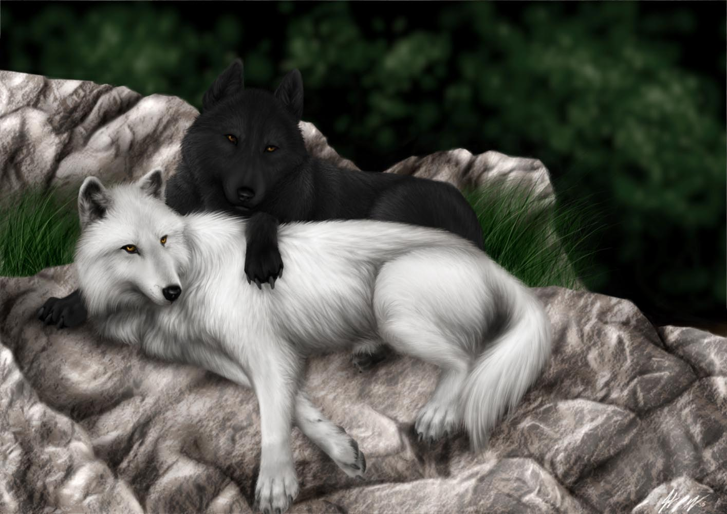 hd wallpapers black wolf and snow wolf 1415×1000