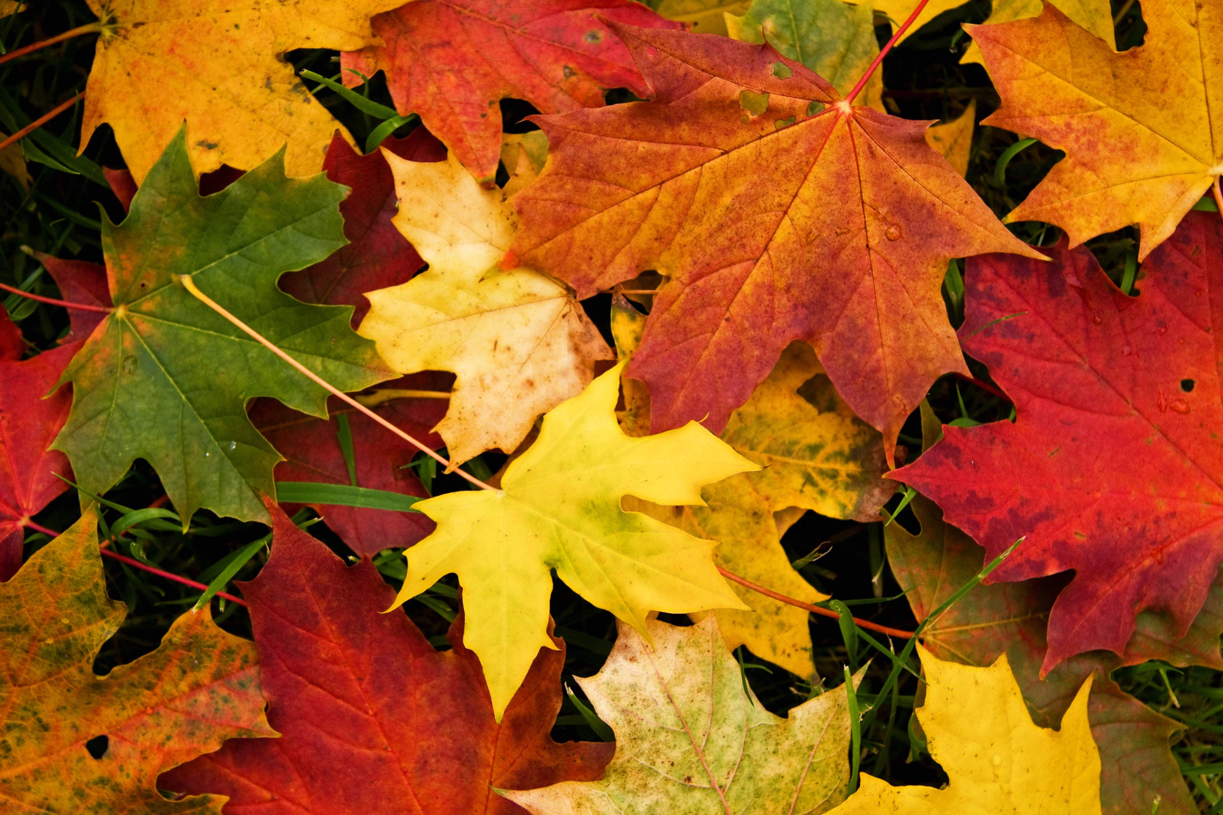 Free Desktop Wallpaper Autumn Leaves: Wallpapers Fall Leaves