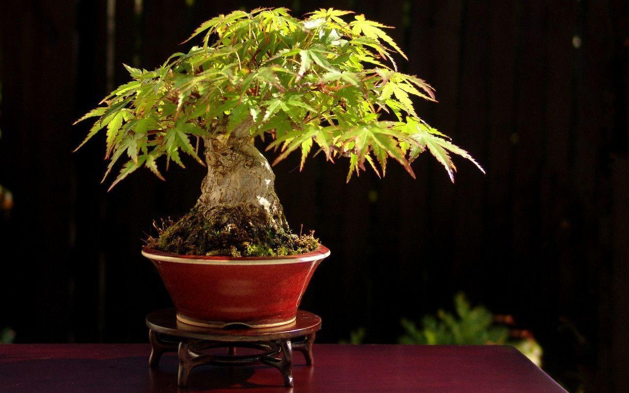 Bonsai Tree Wallpaper : Cool Bonsai Tree Wallpaper In X Resolution ...
