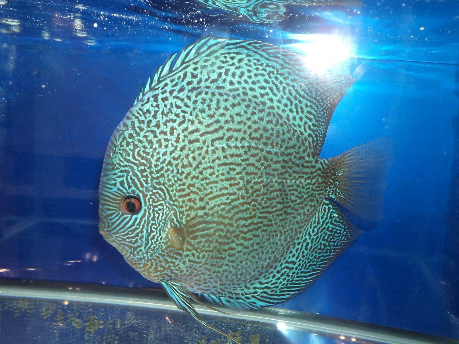 Discus fish wallpapers wallpaper cave for Discus fish types