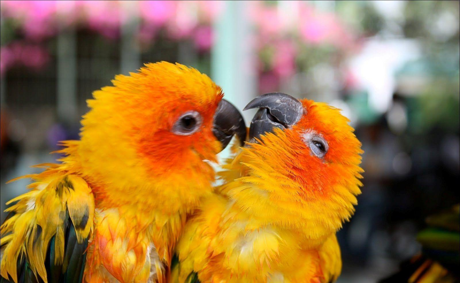 Love birds wallpaper for android phone