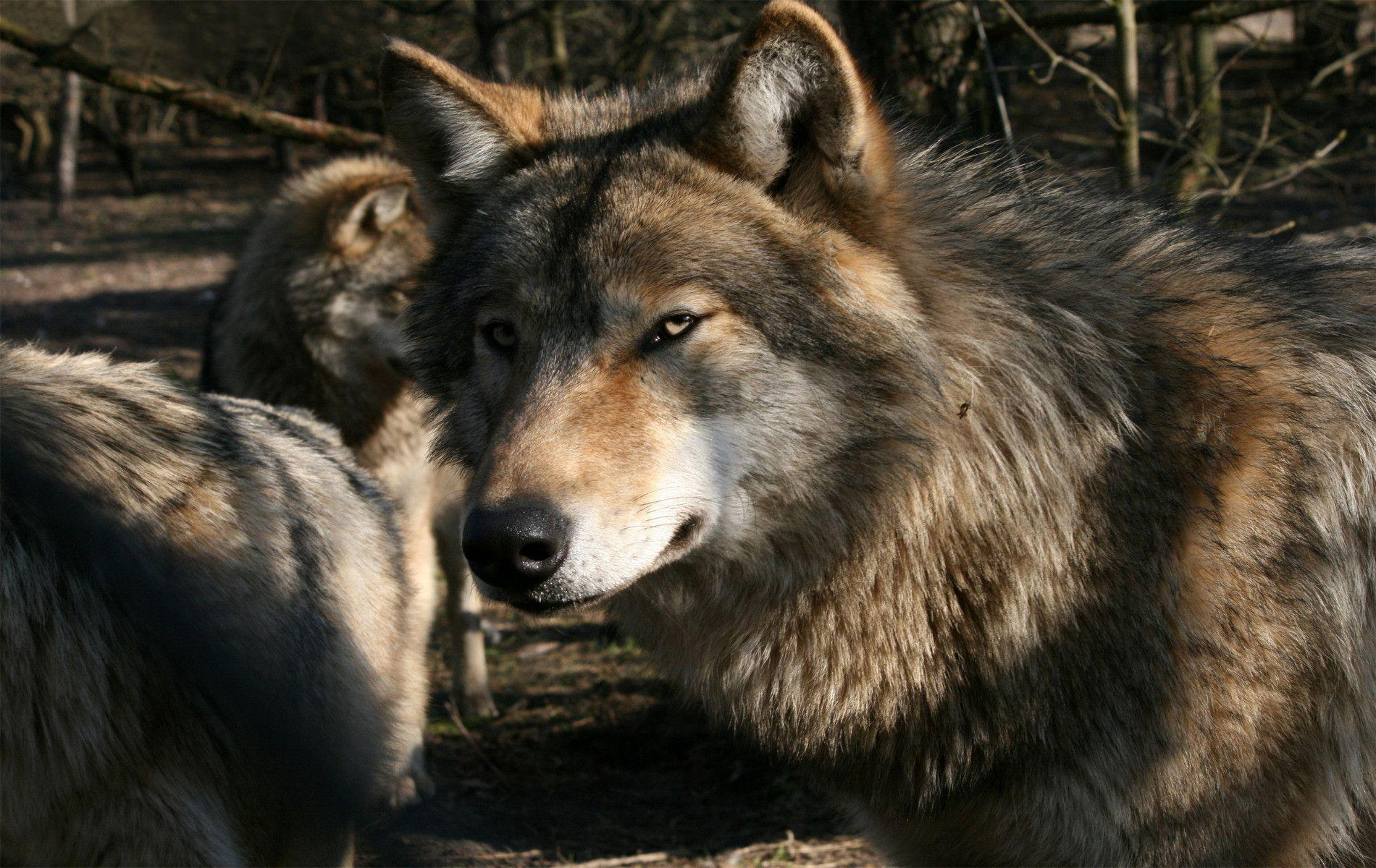 Grey Wolf Wallpapers Wallpaper Cave
