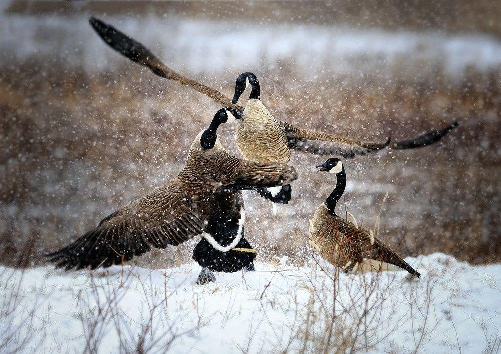 Goose Hunting Wallpaper Coolstyle Wallpapers