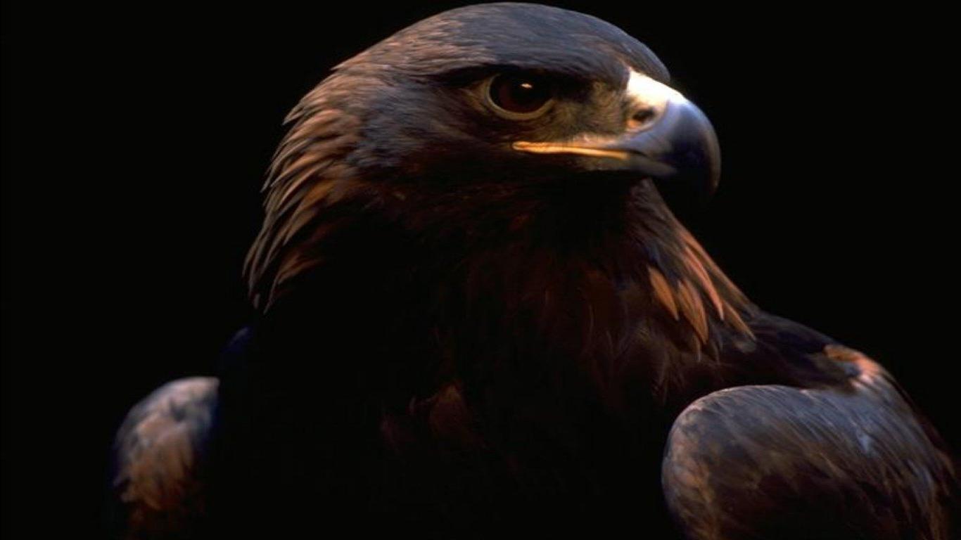 Hd wallpaper eagle - Golden Eagle Wallpaper 8994 Hd Wallpapers In A 598 Wallpaper