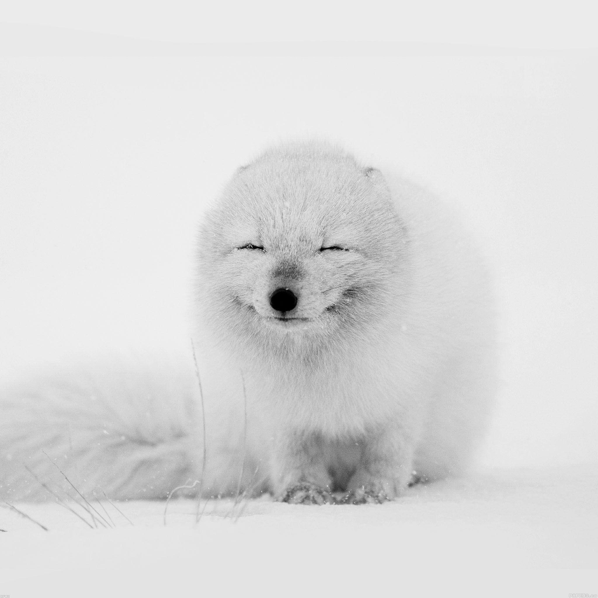 Arctic Fox Wallpapers Wallpaper Cave