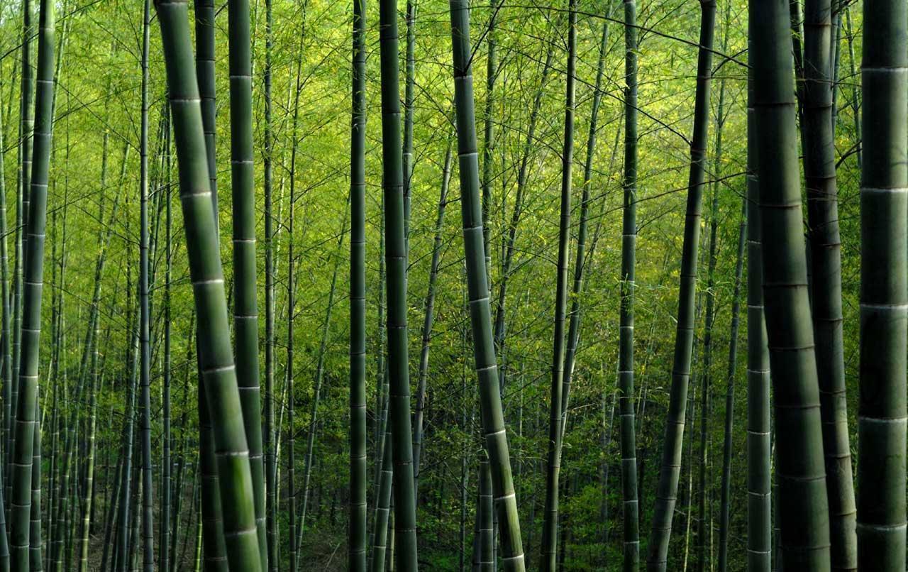 bamboo background nineteen photo - photo #19