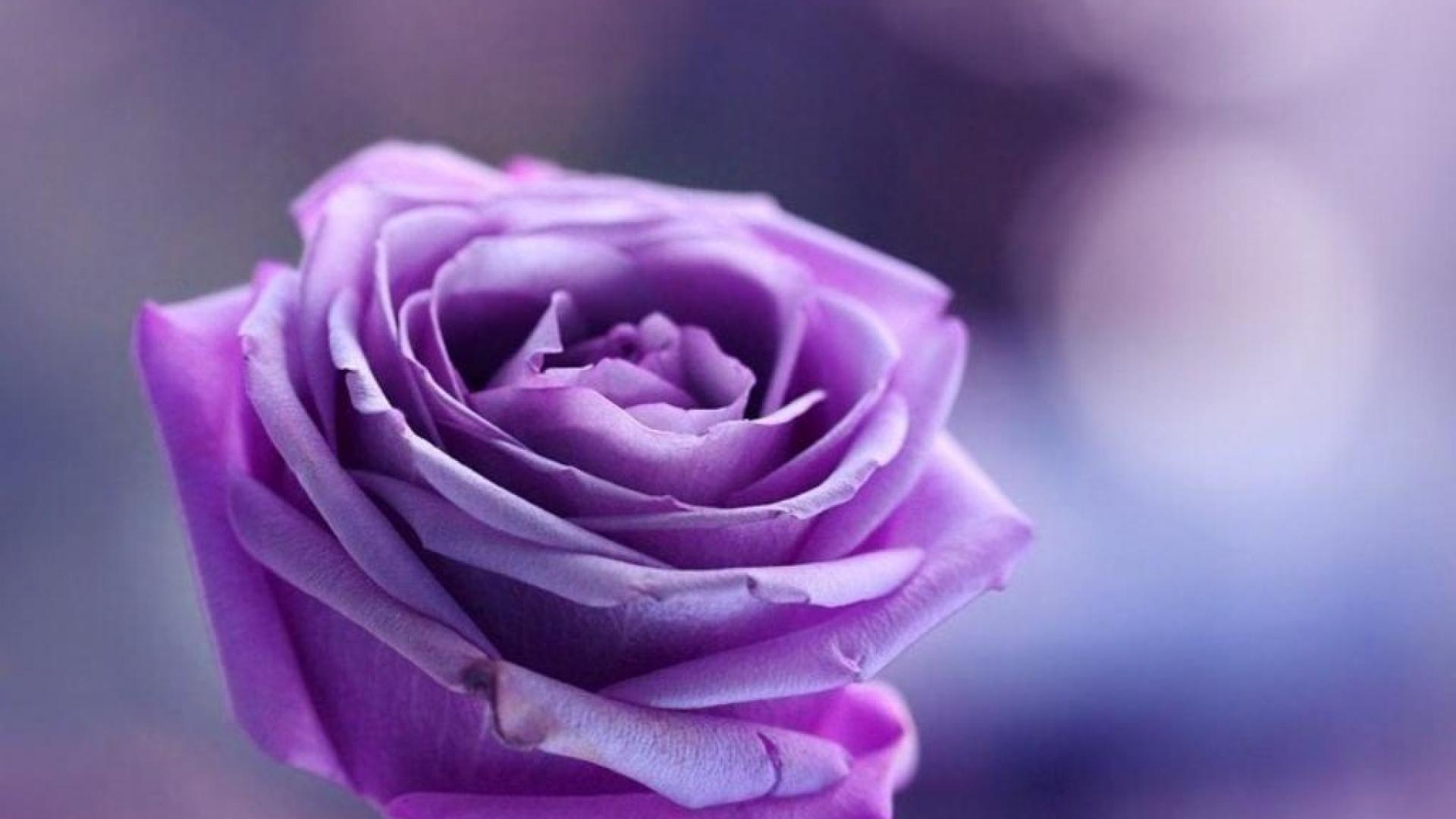 Purple Rose On Background Wallpapers And Images