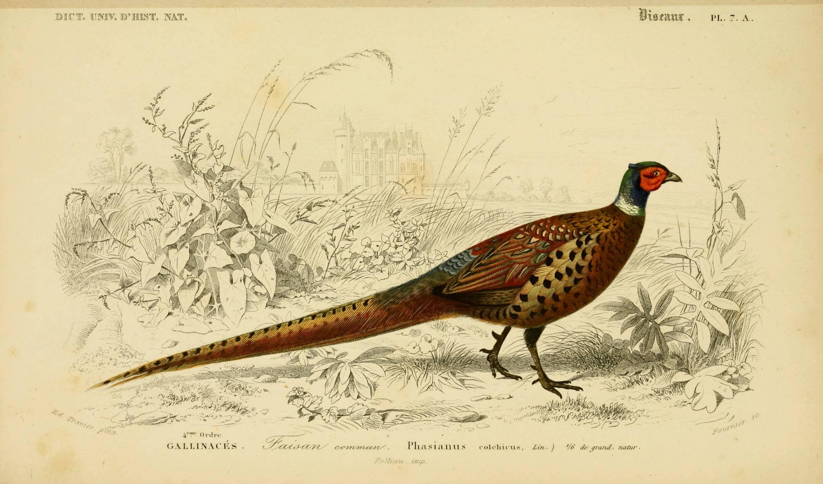 Pheasant Wallpapers - Wallpaper Cave