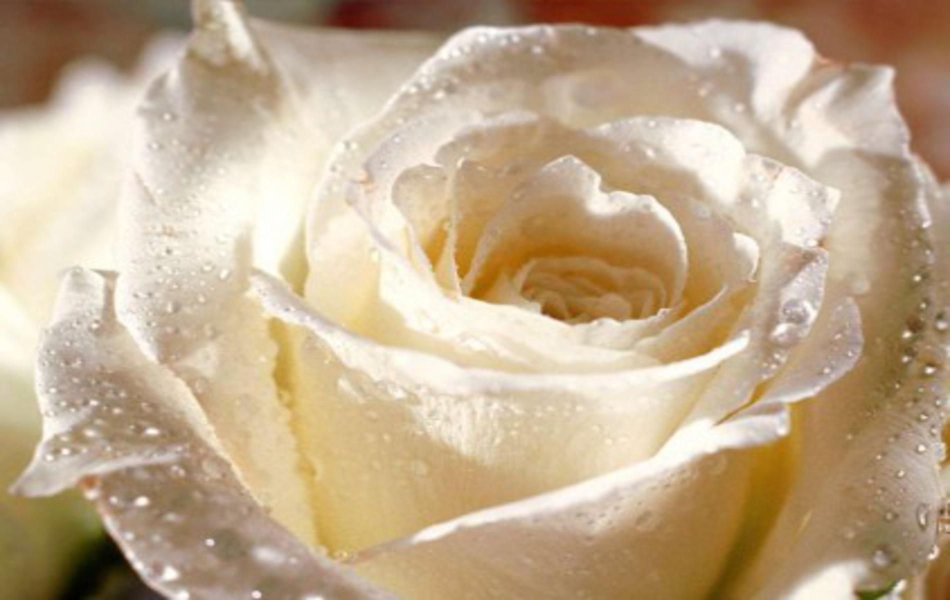 pretty white rose free backgrounds