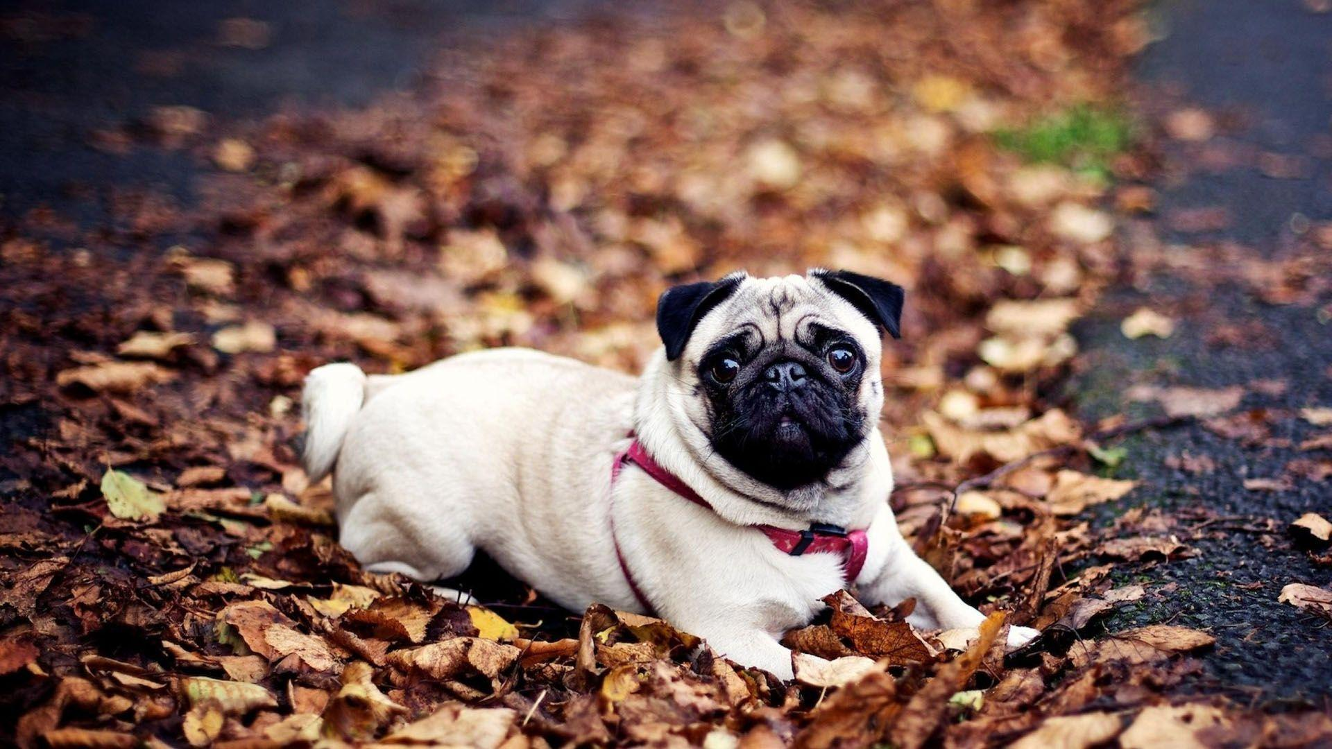 Pug Dog Wallpapers Wallpaper Cave
