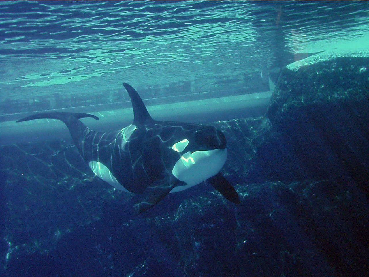 Orca Wallpaper | Animals Wallpapers Gallery | PC Desktop Wallpaper