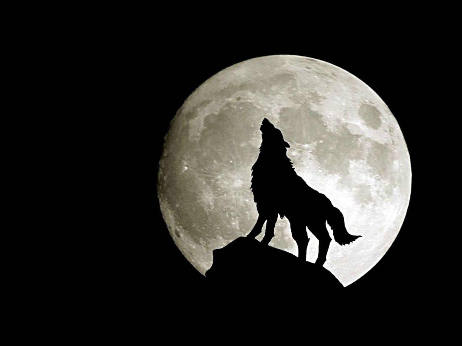 Animals For > Fierce Wolf Wallpaper Hd