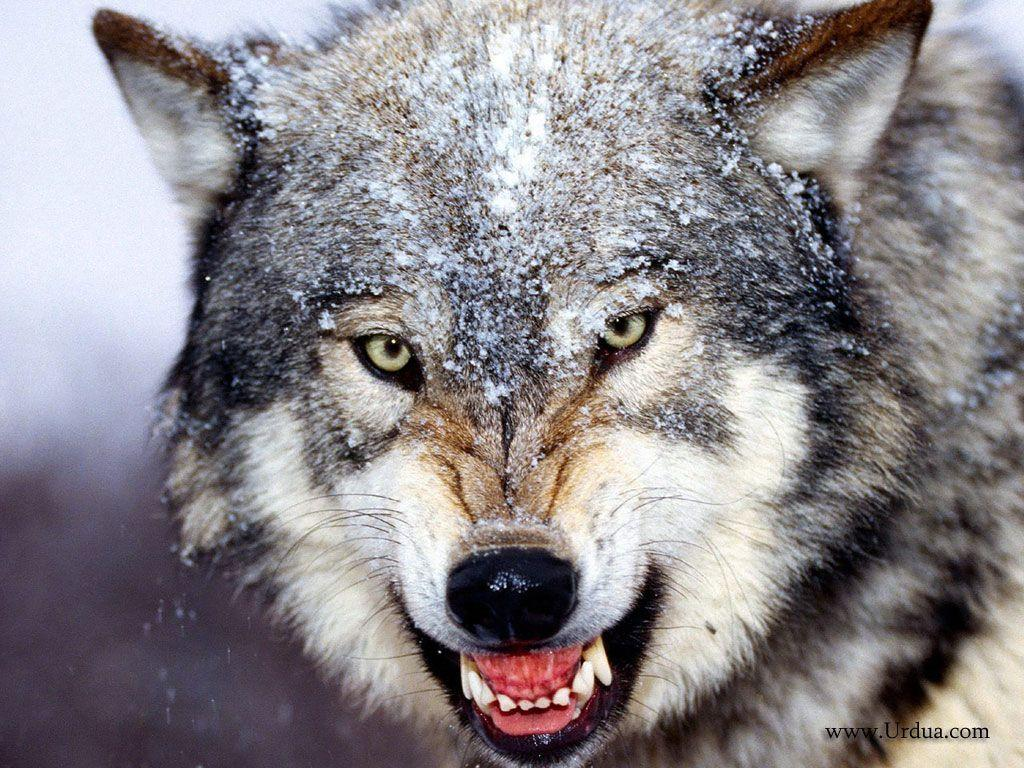 Bared Teeth Grey Wolf Scary Face Laptop Wallpapers