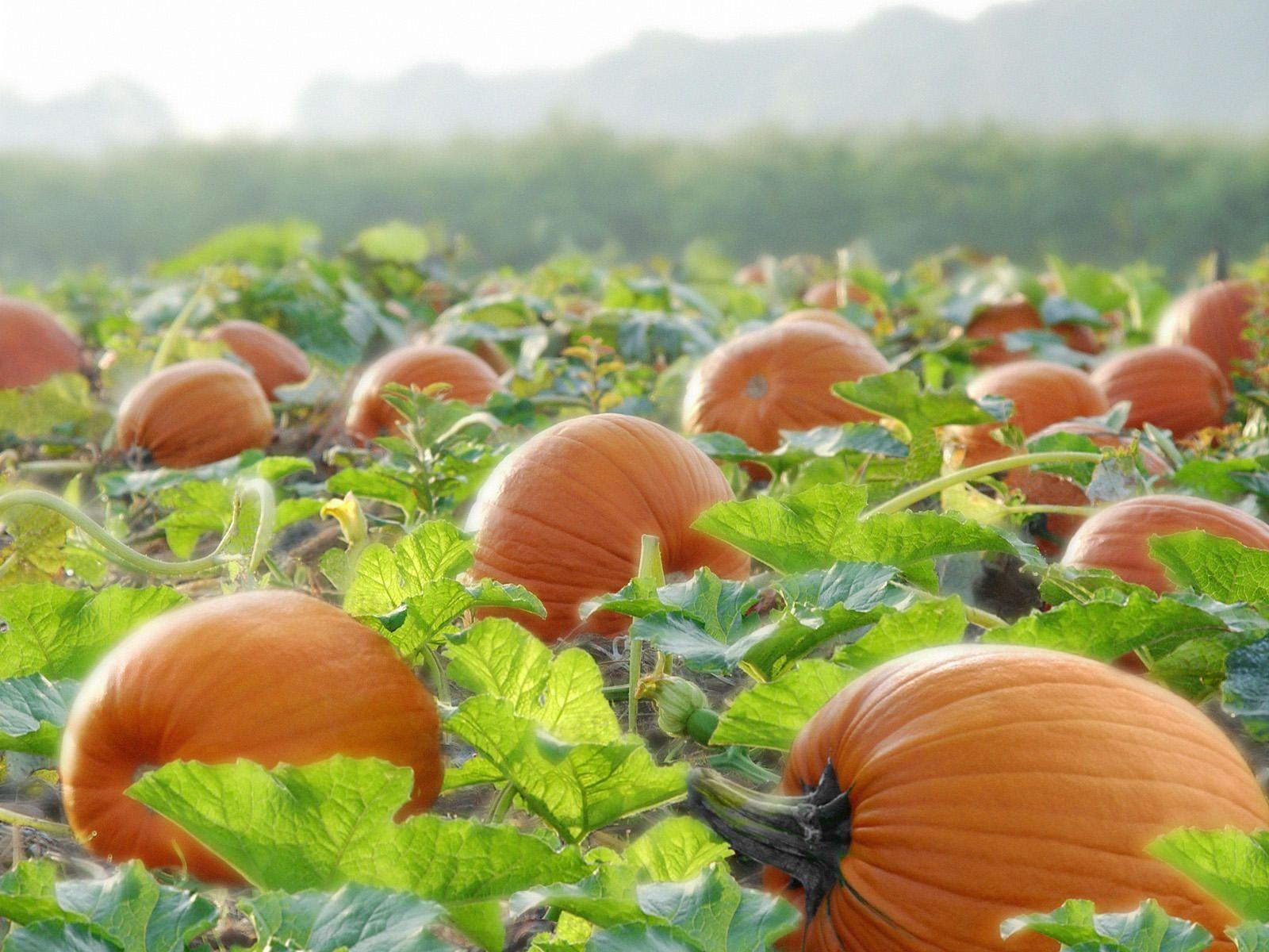Pumpkin Harvest Wallpapers