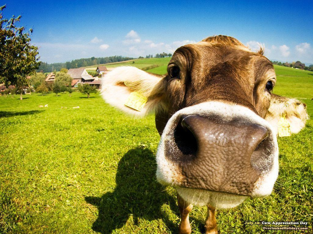 Cow backgrounds wallpaper cave - Free funny animal screensavers ...