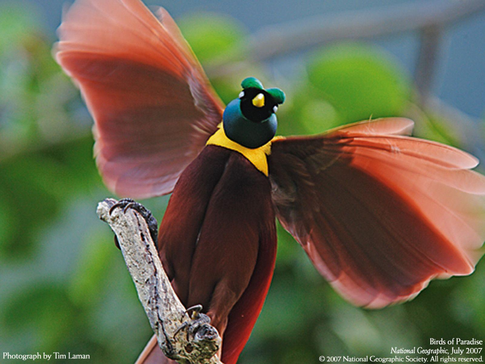 Birds Of Paradise Wallpapers Wallpaper Cave