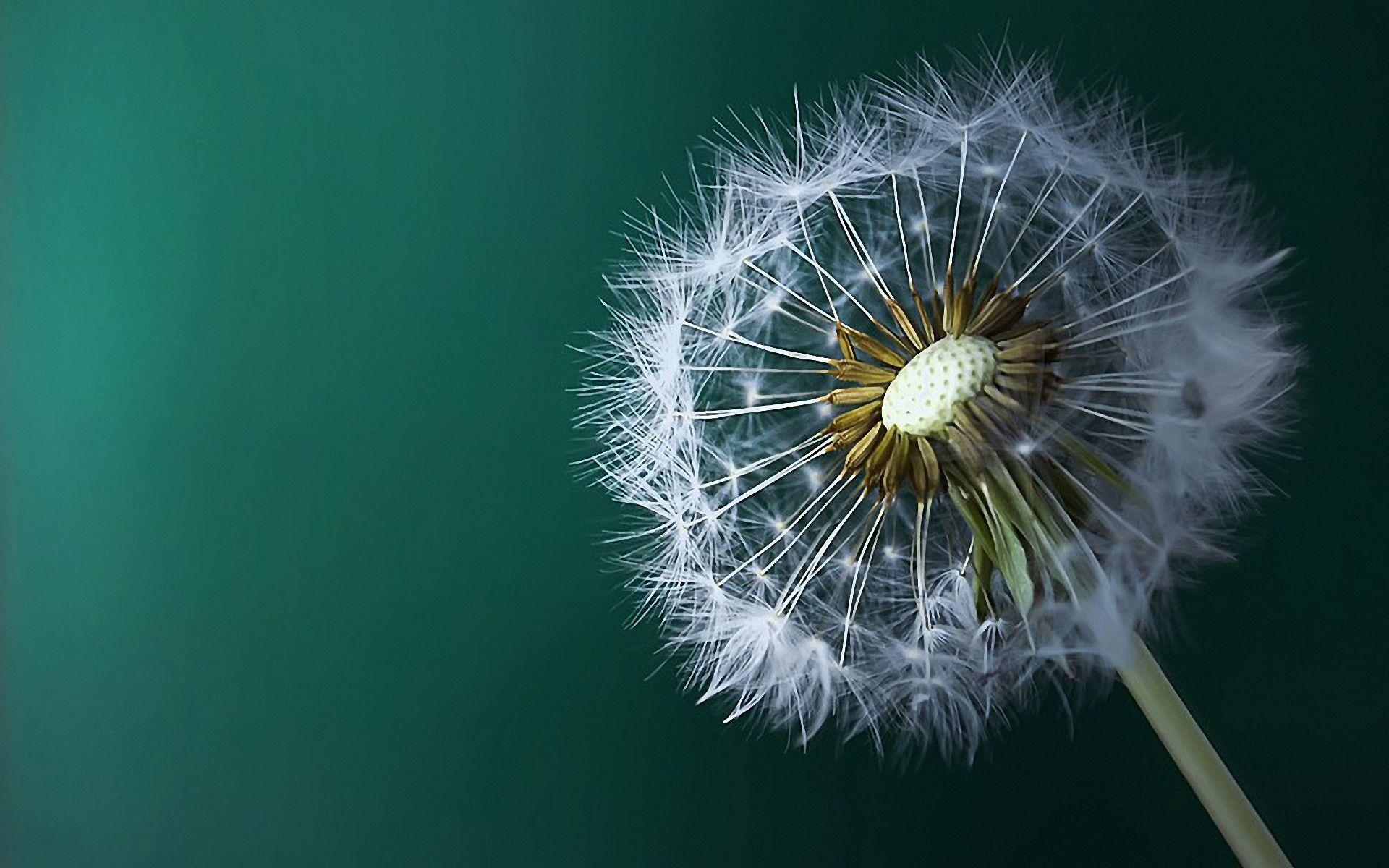 Dandelion Wallpapers Best Wallpapers