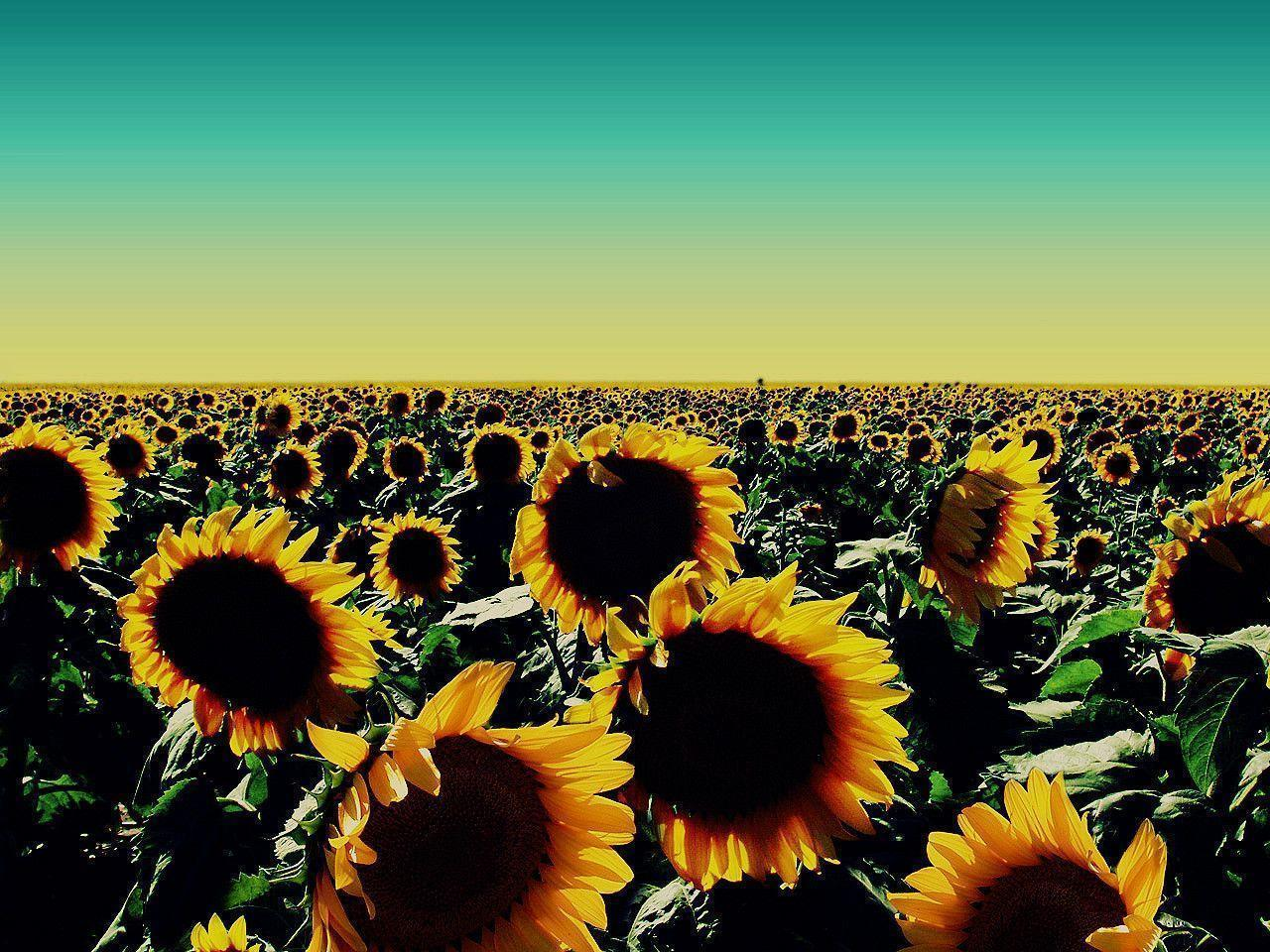 sunflower backgrounds - wallpaper cave