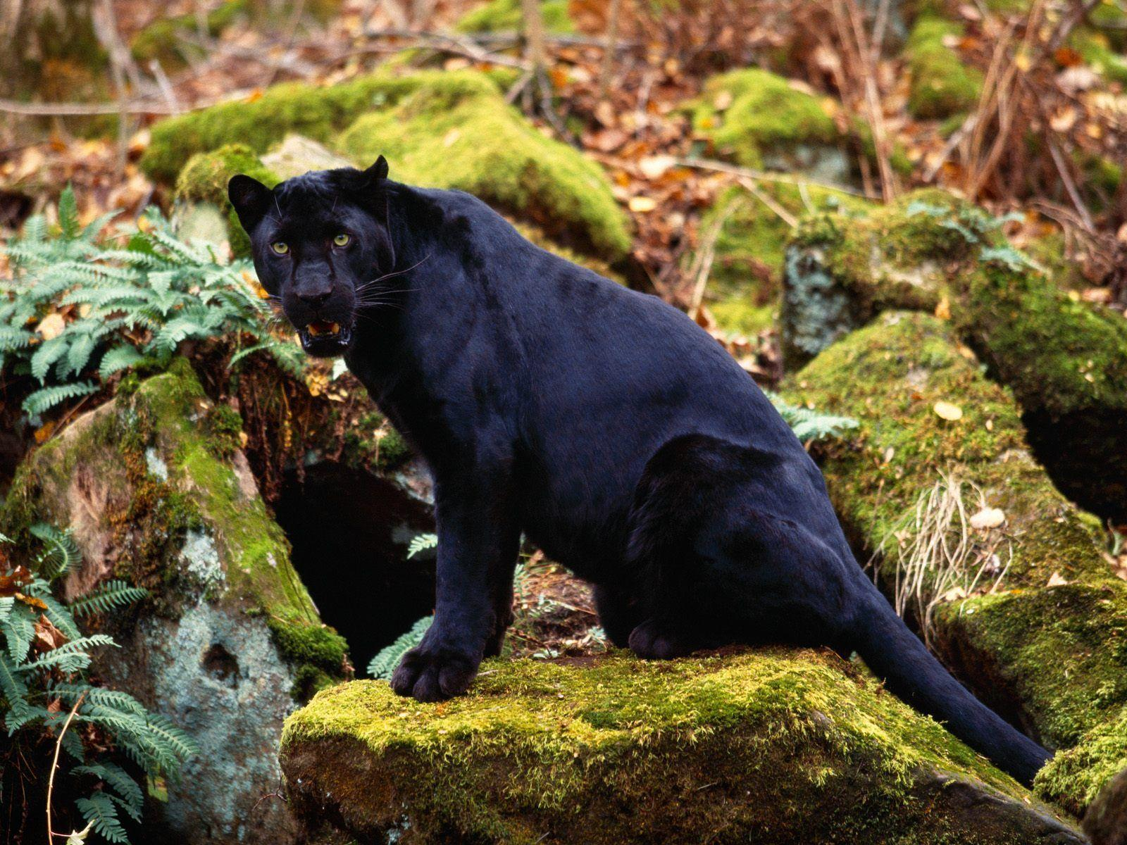 black leopard backgrounds - photo #37