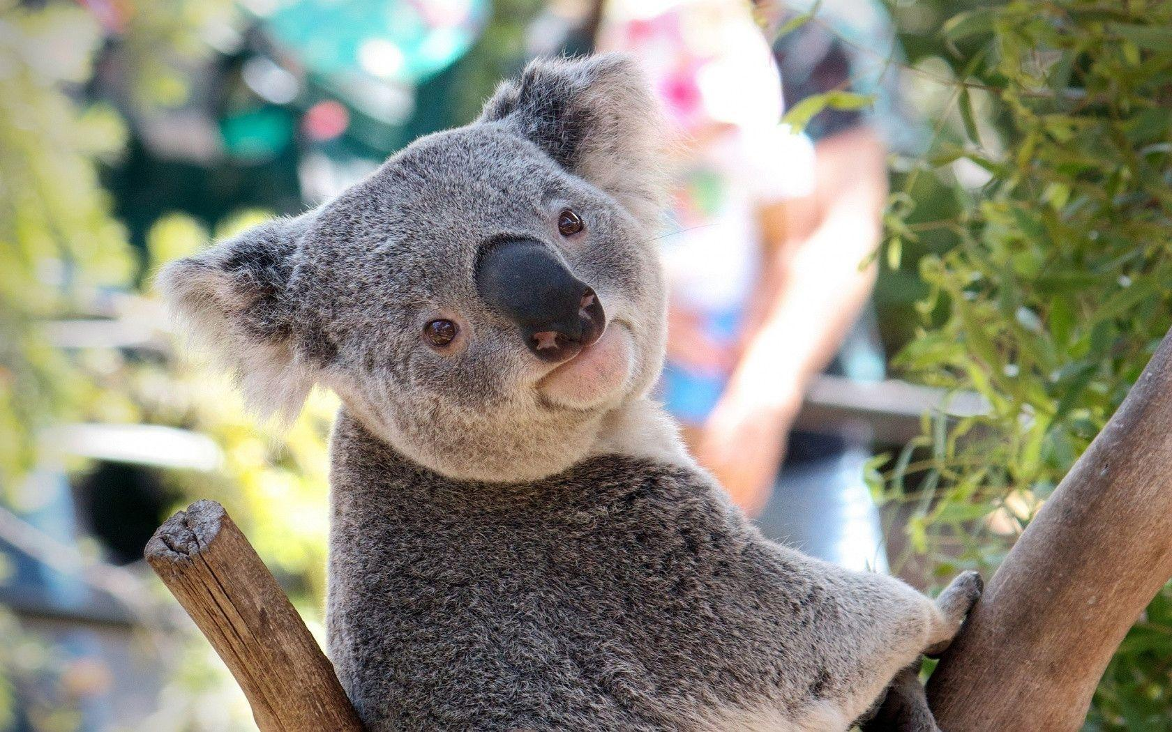 Download Koala Wallpaper 12964 1680x1050 px High Resolution ...