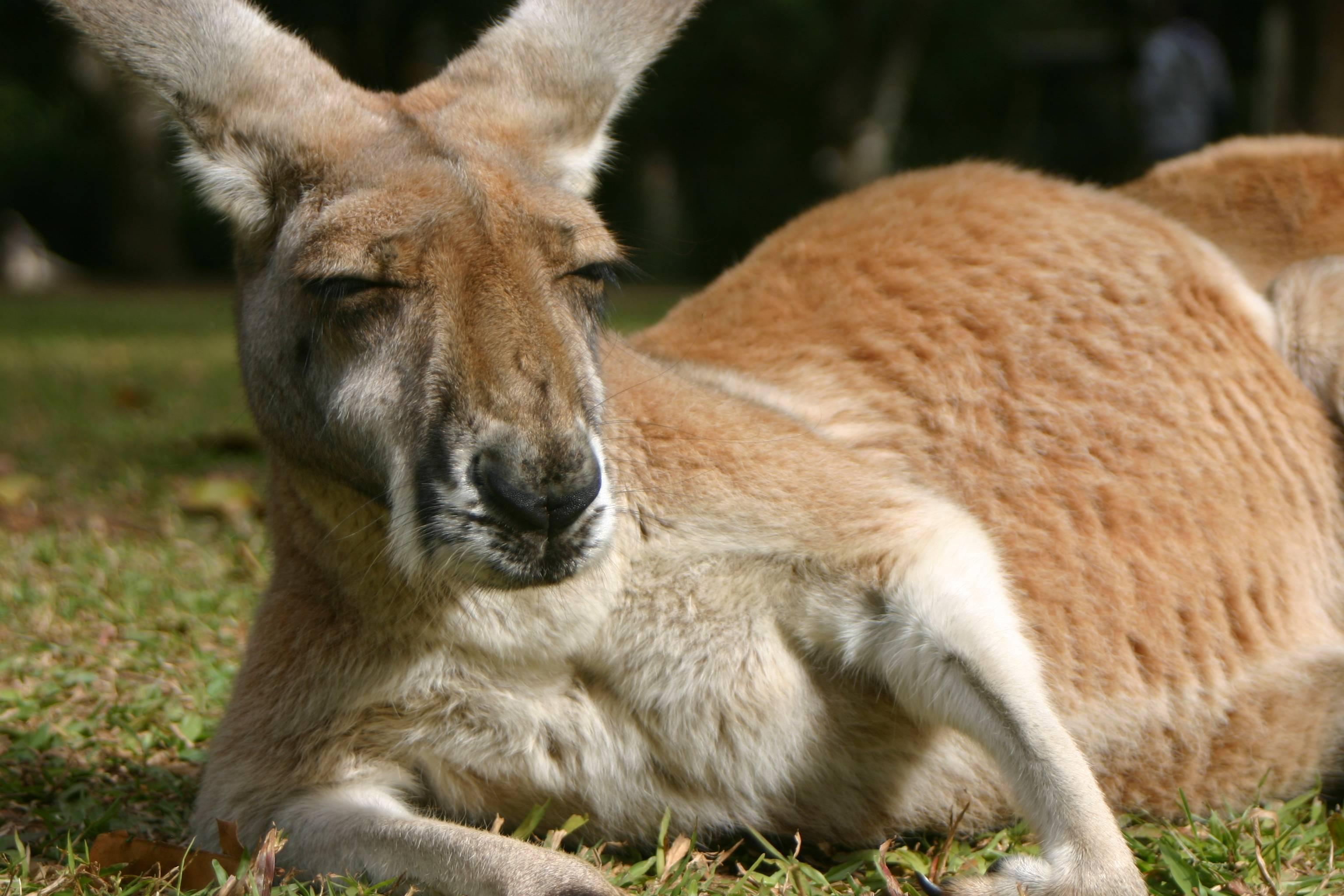 Pin Kangaroo Wallpaper on Pinterest