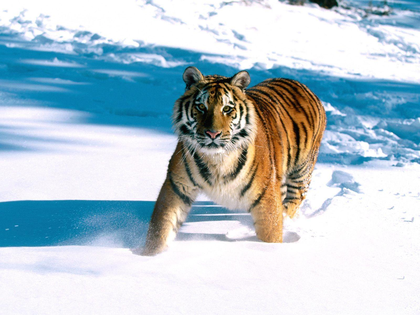Majestic Grace, Siberian Tiger Wallpapers