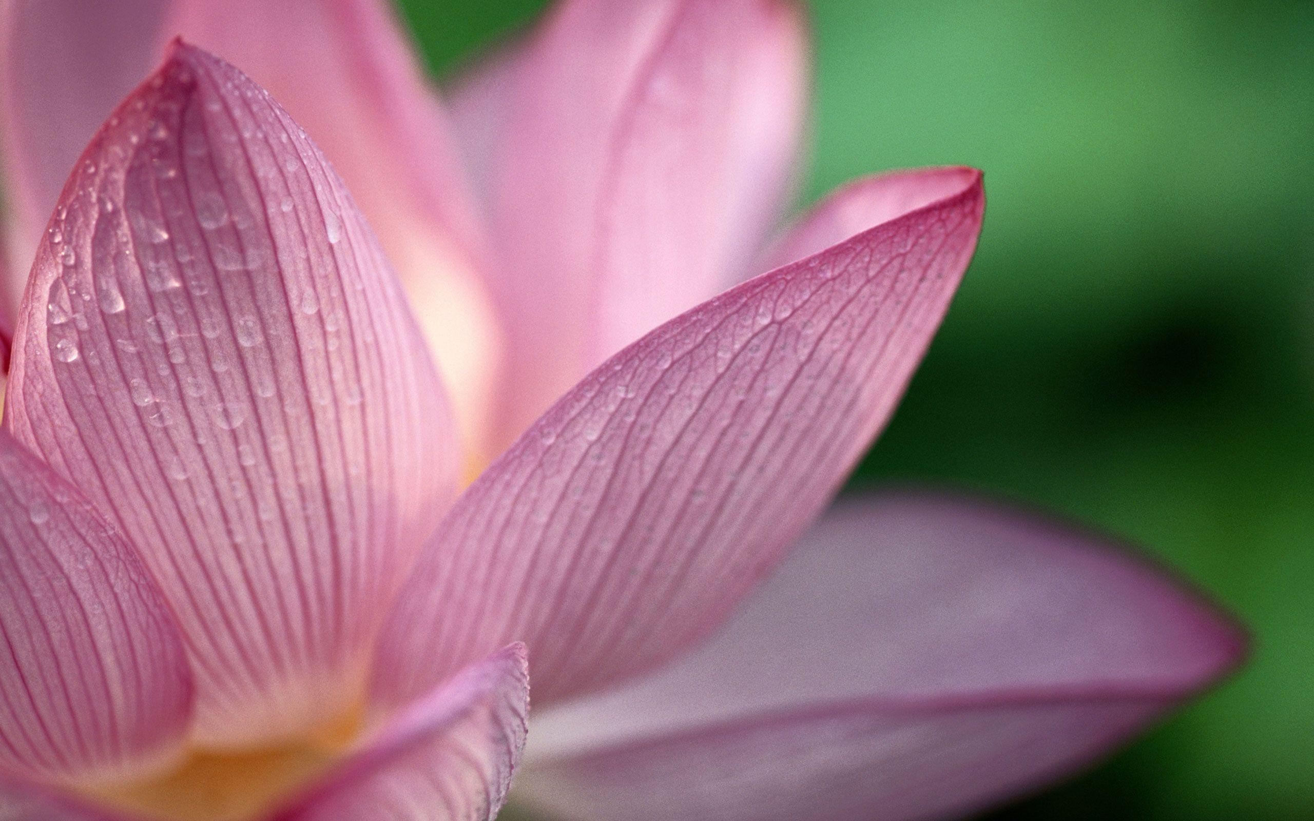 Lotus Flower Desktop Wallpapers