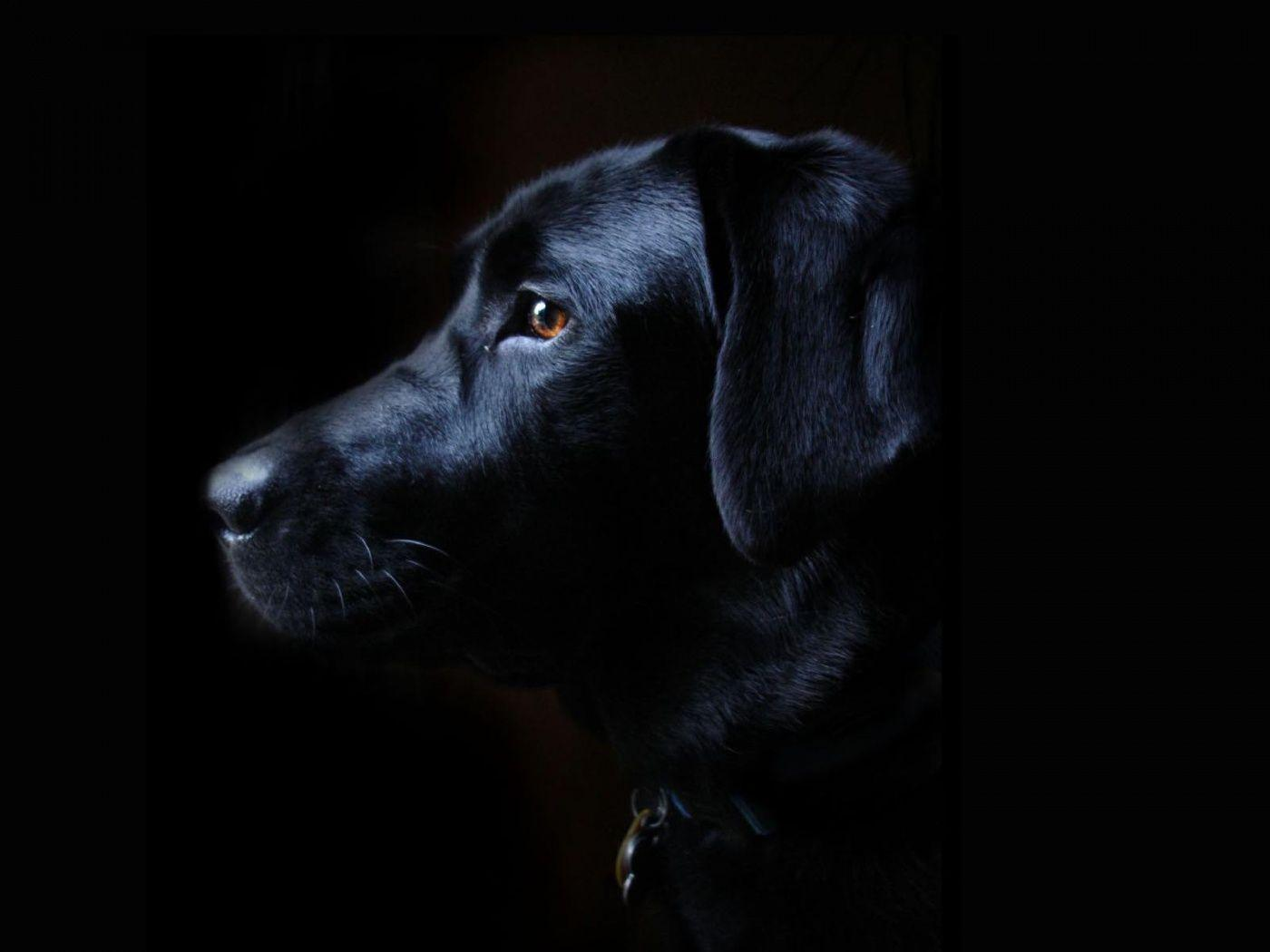 Buy Black Lab Puppies In New Jersey USA