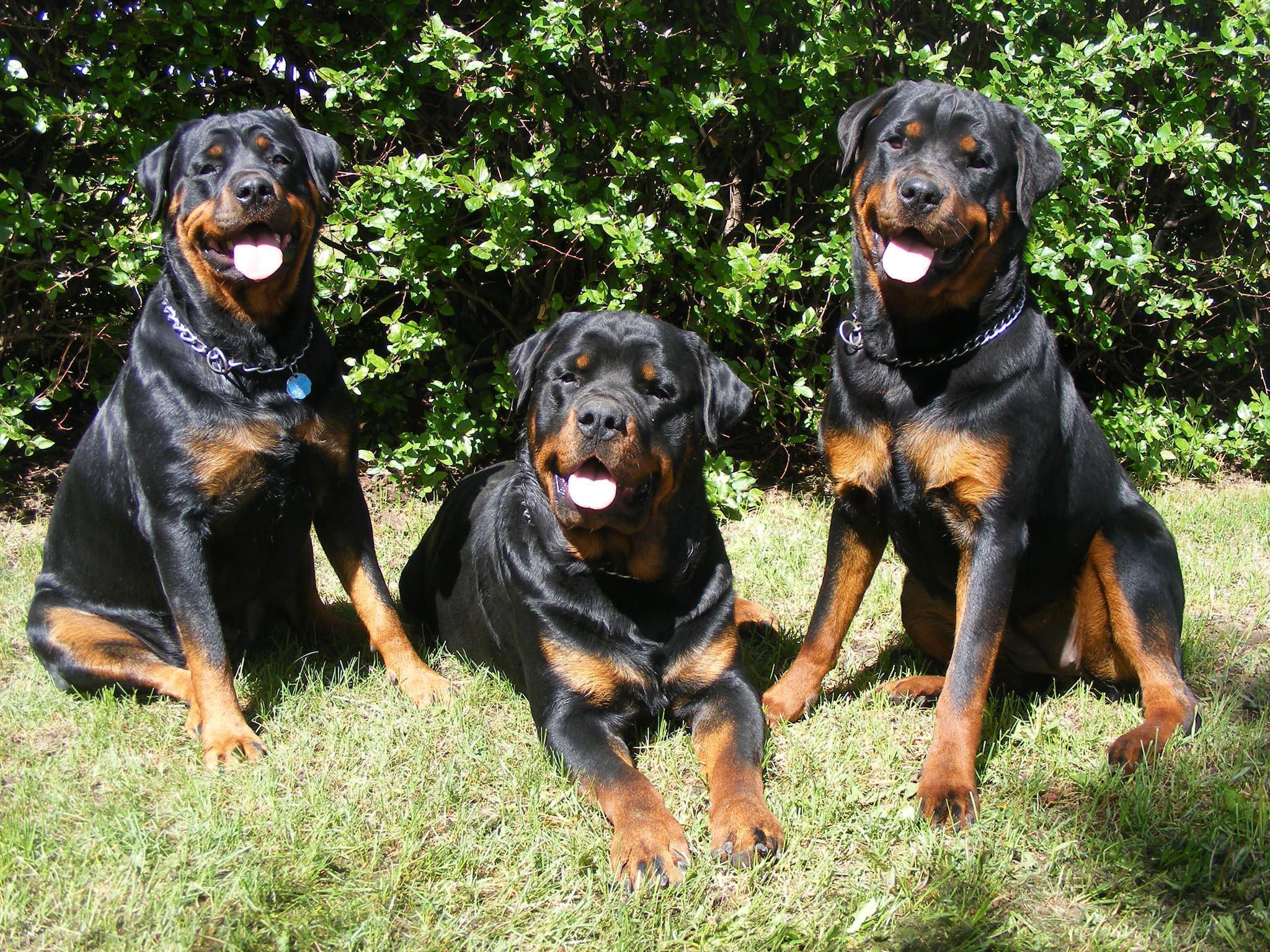 Images For > Rottweiler Wallpaper
