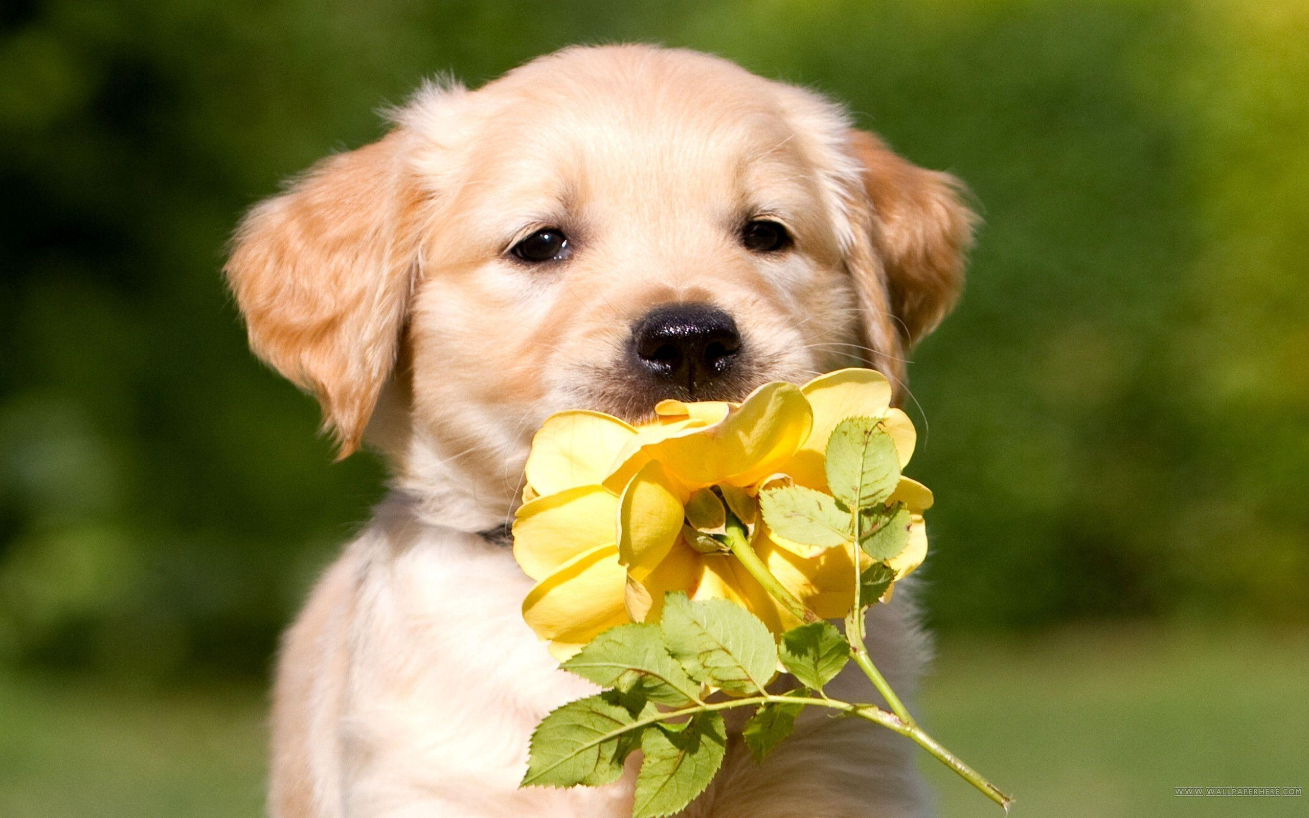 Cute Golden Retriever Wallpaper, wallpaper, Cute Golden Retriever ...