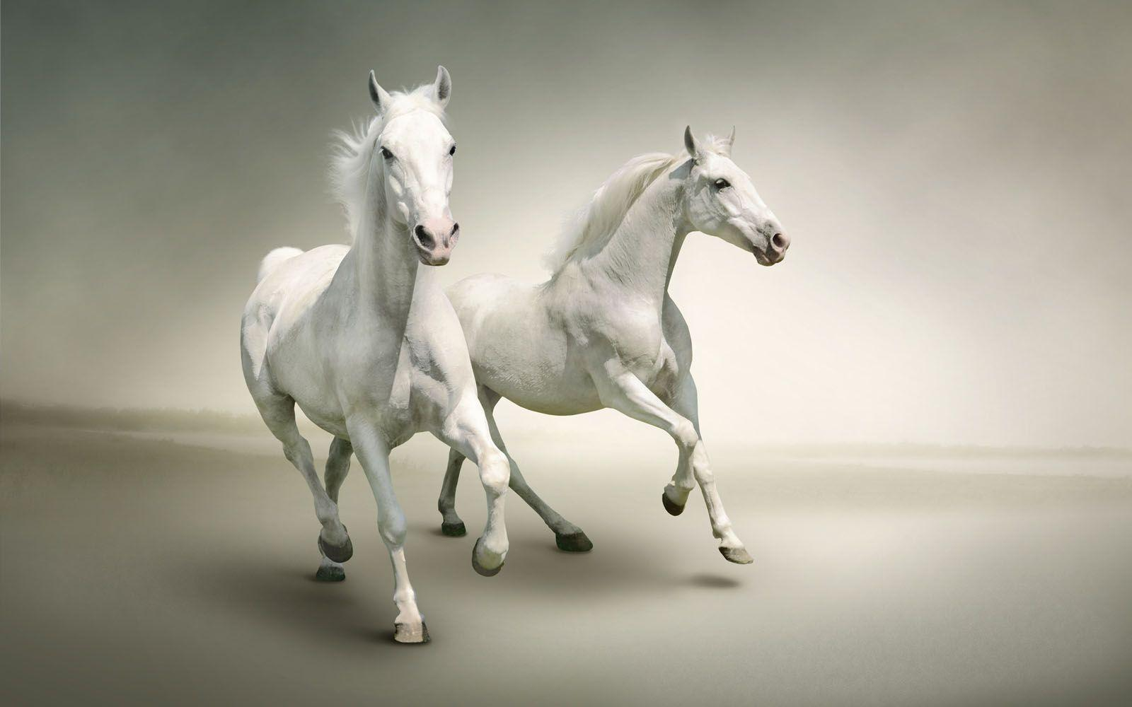 two white horses wallpapers