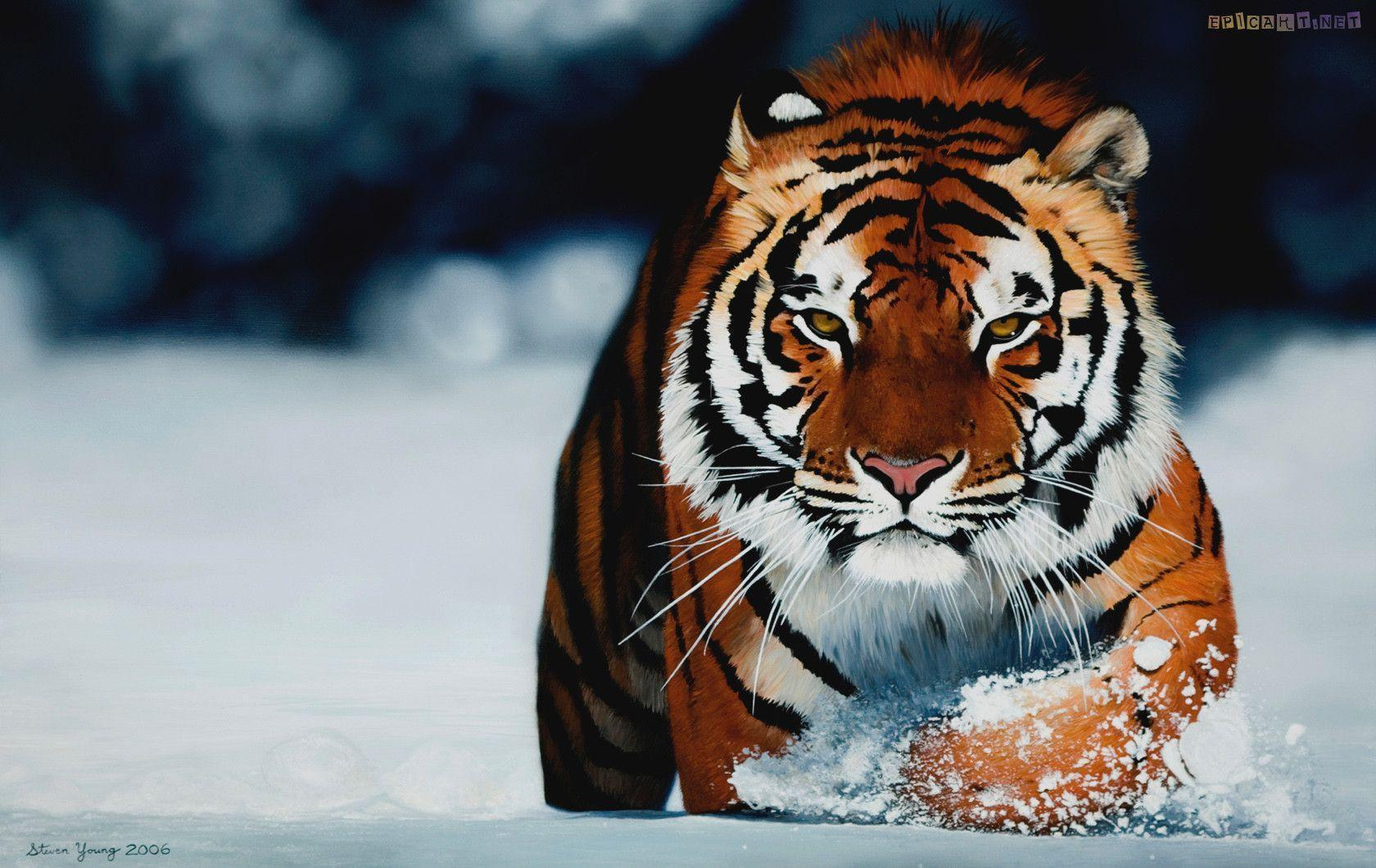 siberian tiger wallpapers tigers 1680×1060